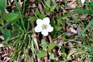 dewberry flower