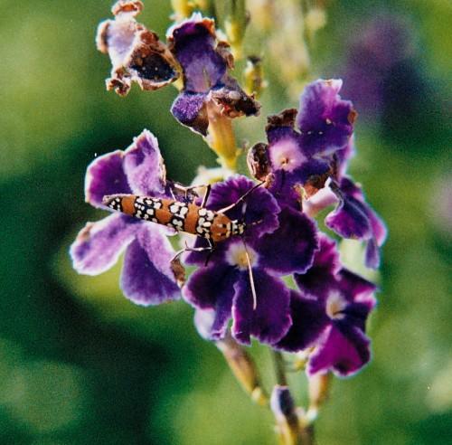 Ermine Moth or Ailanthus webworm moth (Atteva punctella)