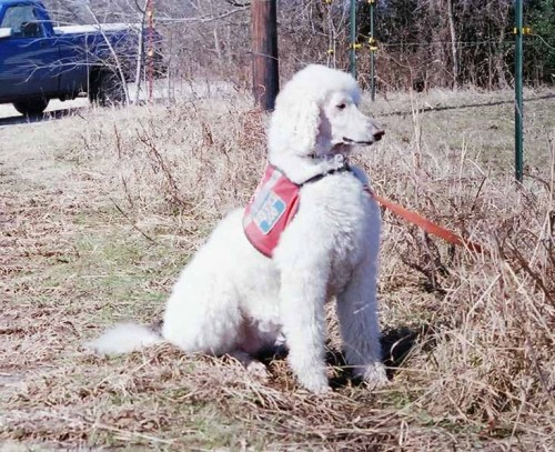 Amber in her service dog vest