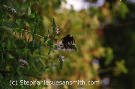 A bumblebee rides a stalk of cat eyed mint while sipping nectar