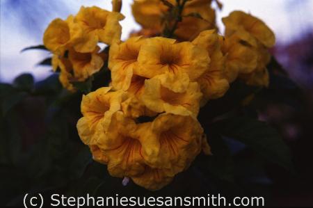 Gold Star Esperanza flowers up close