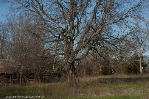 old oak tree by barn