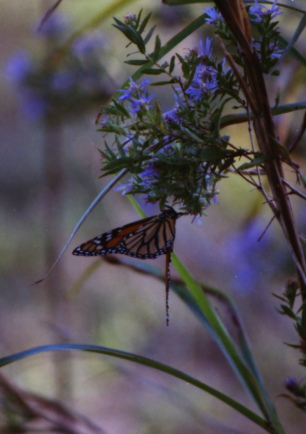 Monarch butterfly on asters in the wind, Danaus plexippus, Aster oblongifolius
