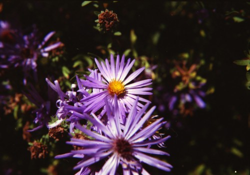 Aster in the Heritage Garden of Hunt County