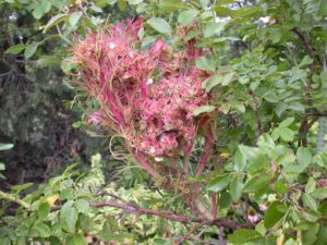 a rose bush with rose rosette disease