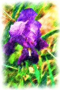 iris colored pencil