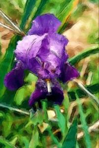 iris watercolor sketch