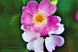 Pink multiflora rose