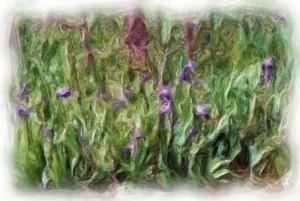 Field of Iris Oil