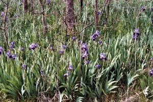 Field of Purple Bearded Iris