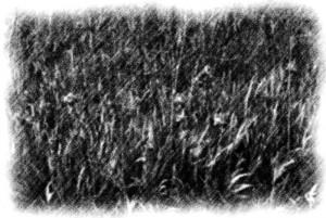 field of iris pencil