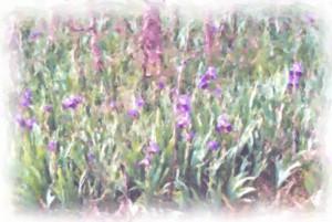 field of iris watercolor