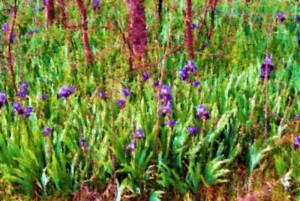 field of iris illustration