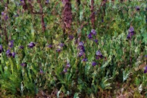 field of iris watercolor sketch