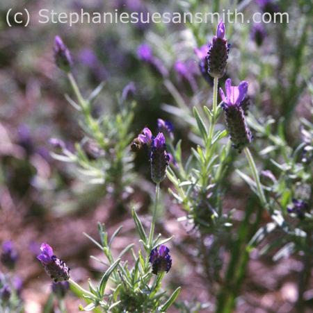 French lavender, Lavandula stoechas, Spanish lavender